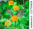 Closeup Butterfly on Flower (Pale Blue Tiger) - stock photo