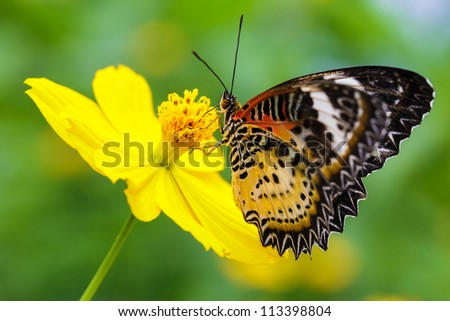 Closeup Butterfly on Flower (The Malay Lacewing)