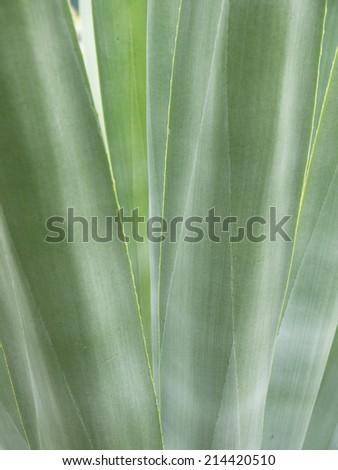 closeup Cactus Leaf Pattern - stock photo