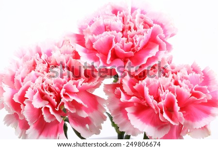 closeup carnation flower on white background