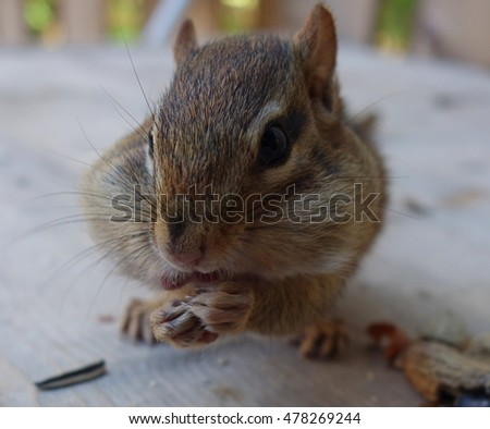 Closeup Chipmunk Animal Eating Blur Background - Close up view of a small wild chipmunk sitting eating nuts outdoors, adorable Animal face wildlife blur photo background.
