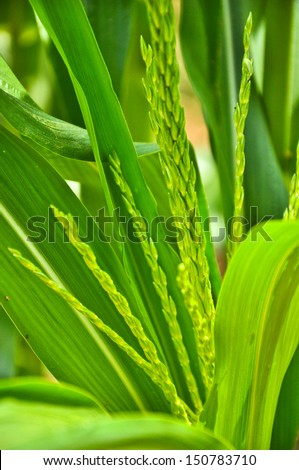 closeup corn in bloom in a part of terraced paddy field atThailand - stock photo