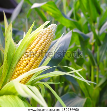 Closeup corn on the stalk in the corn field - stock photo