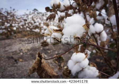 Closeup Cotton Fields Ready For Harvest at Australia - stock photo
