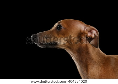 Closeup Cute Italian Greyhound Dog Looking forward on Black isolated background, Profile view - stock photo