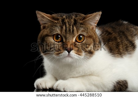 Closeup Cute Scottish Straight Male Cat Face Lying with paw on Isolated Black Background, Side view, Curious Looking in Camera Tabby with white Cat - stock photo