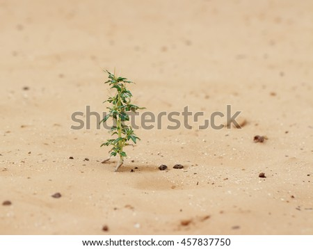 closeup desert plant (Xanthium spinosum) on sand at cloudy  day - stock photo