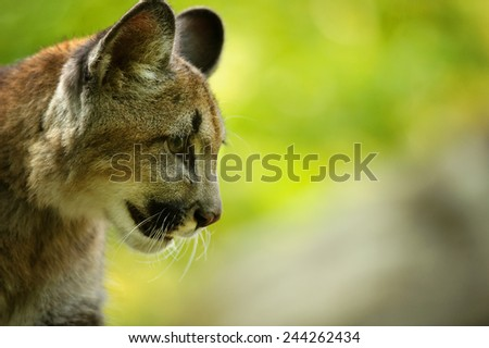Closeup detail of cougar's head with green forest in background - stock photo