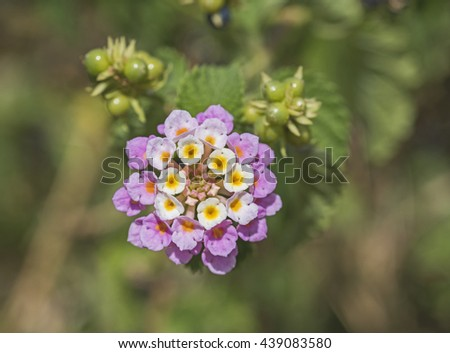 Closeup detail of white and pink lantana camara flower floret in garden with berries - stock photo