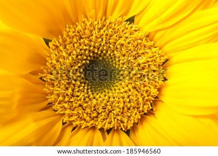 Closeup Detail of Yellow Sunflower - stock photo