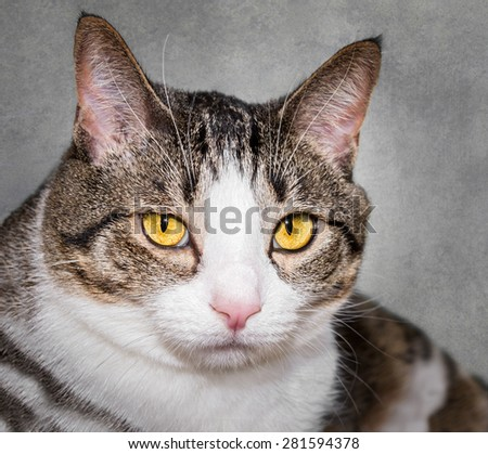 Closeup Domestic Cat - stares at viewer - stock photo