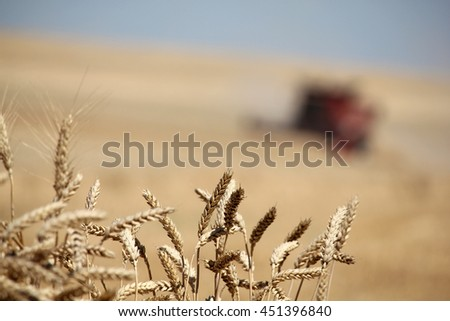 Closeup ears of wheat at field with combine harvester on background out of focus