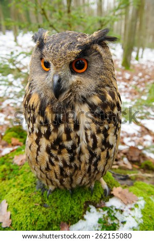 Closeup Eurasian eagle-owl sitting on the stone with moss - stock photo