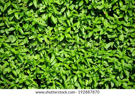 Closeup evergreen hedgegrow in the garden - stock photo