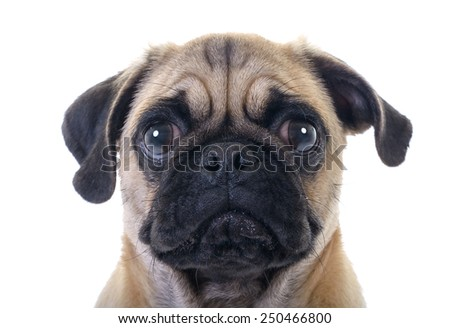 Closeup Face Headshot of Pug Dog Crying with Tear in Right Eye, studio shot over white background