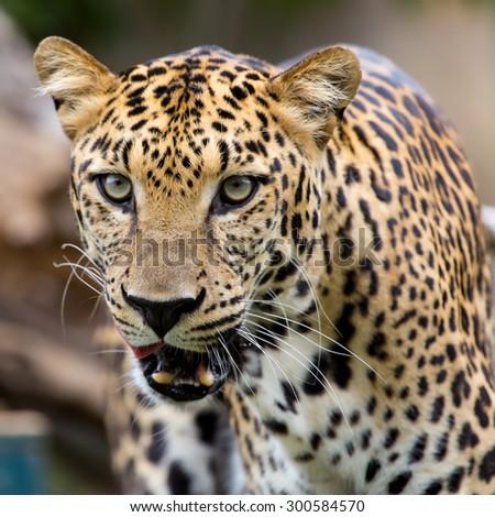 Closeup face leopard  - stock photo