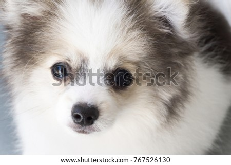 Closeup face of puppy pomeranian looking at something with grey background, dog healthy concept