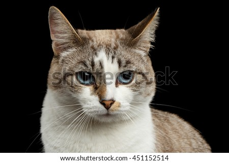Closeup face of White Cat, Red nose, offended looks Huge Blue Eyes Isolated Black Background, Front view - stock photo