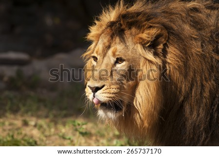 Closeup face portrait of a beautiful young Asian lion with open chaps and tongue in natural habitat. King of beasts. Wild beauty of the biggest cat. Most dangerous and mighty predator of the world.