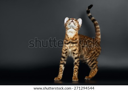 Closeup female Bengal Cat on Black Background Looking up - stock photo