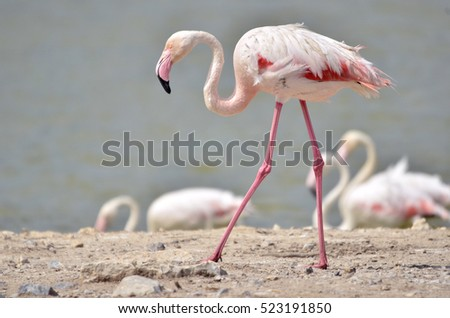 Closeup flamingo (Phoenicopterus) walking on ground viewed of profile.