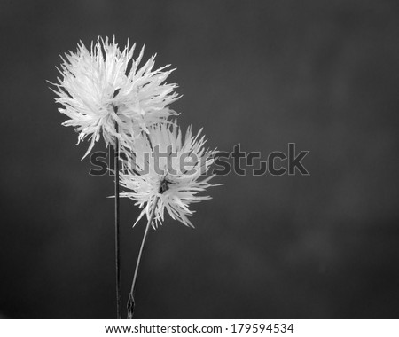 Closeup flowers. Black and white photos - stock photo