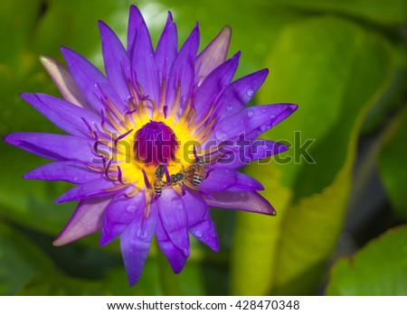 Closeup focus beautiful purple lotus with drop and insect bee, Background defoucs - stock photo