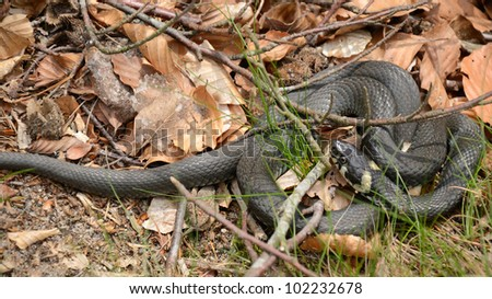 Closeup for grass snake in spring forest - stock photo