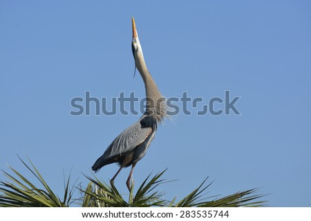 Closeup, Frame-Filling View of a Large Heron Isolated on Blue Stretching His Neck Skyward Looking For a Mate - stock photo