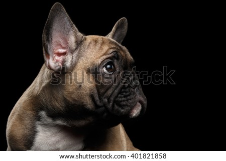 Closeup French Bulldog Puppy head Looking up, Profile view,  Isolated on black background - stock photo