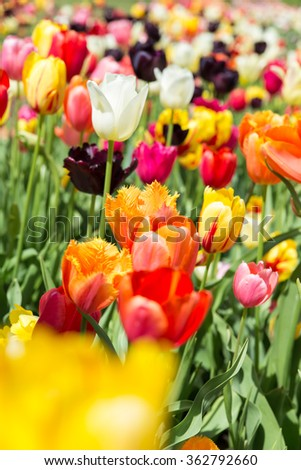 Closeup from a colorful tulip field in the sunshine - stock photo