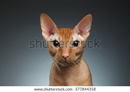 Closeup Funny Ginger Sphynx Cat Curiously Looking in camera on blue background - stock photo