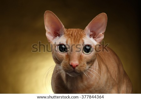Closeup Funny Ginger Sphynx Cat Curiously Looking in camera on Gold background - stock photo
