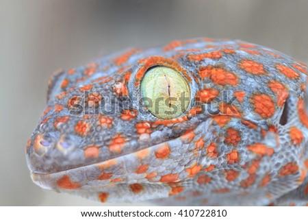 Closeup gecko - stock photo