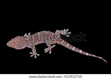 Closeup gecko isolated on black background. This has clipping path. - stock photo
