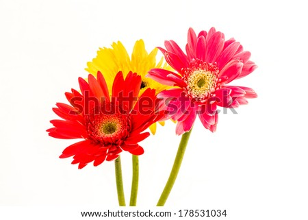 closeup gerbera flower , white background