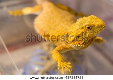 Closeup Gold chameleon,selective focus,soft focus - stock photo