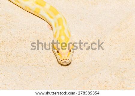Closeup Gold Python on the sandy tropical beach ,Reticulated python (Python reticulatus) - stock photo