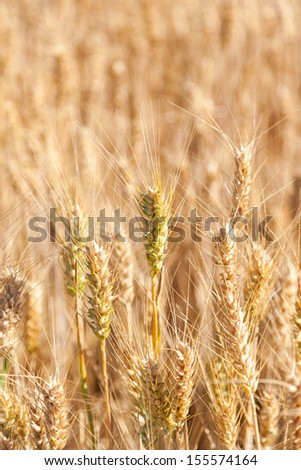 closeup golden grain ready for harvest in field