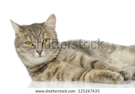 closeup gray cat looking at camera. isolated on white background