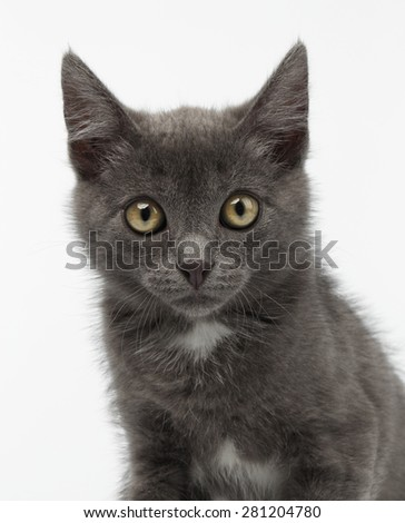 Closeup Gray Kitty Looking in Camera on White Background