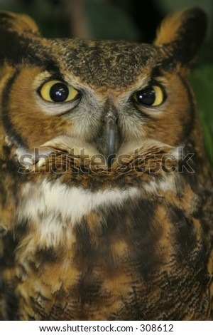 Closeup Great Horned Owl with Intense Stare