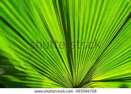 Closeup green leaf of green palm tree background