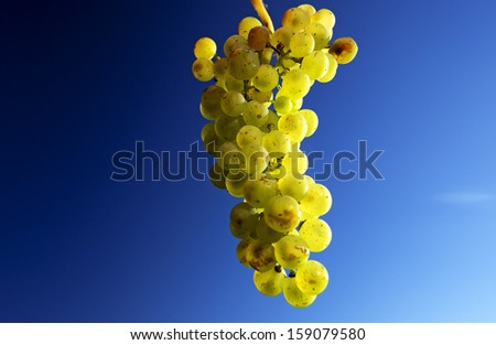 Closeup green ripe grapes high up and sky blue - stock photo