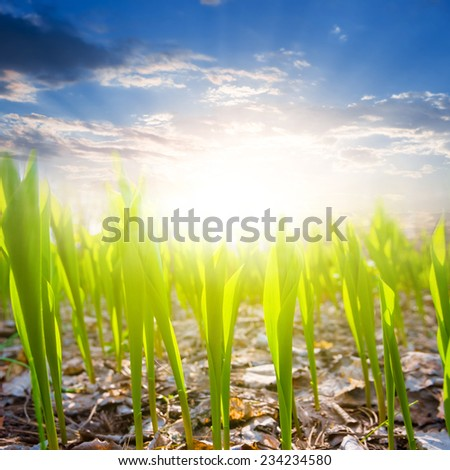 closeup green sprouts on a sunrise background - stock photo