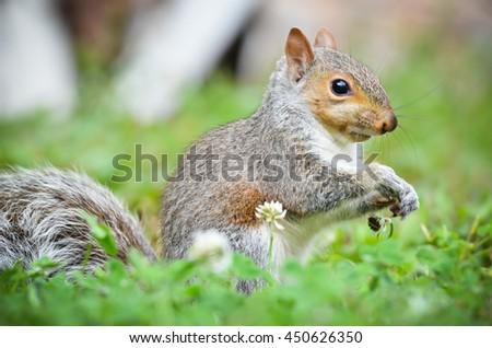 Closeup grey squirrel sitting in field.  - stock photo