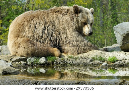 Closeup Grizzly Bear (Ursus arctos horribilis) near pond