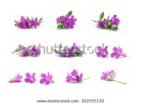 Closeup group of purple flower isolated on white background , beautiful purple flower found in asia , nine purple flower in one pic   - stock photo