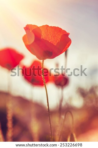 Closeup grunge style photo of a beautiful gentle poppies field, gorgeous red wild flowers in mild sunset light, fine art, beauty of spring nature - stock photo