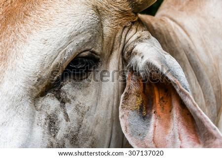closeup head of a cow - stock photo